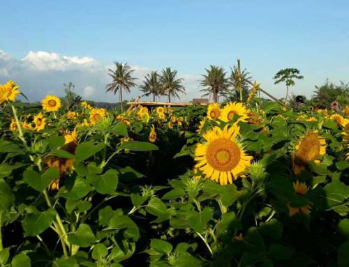 Taman Bunga Matahari Samas, Destinasi Hits dan Instagramable di Bantul