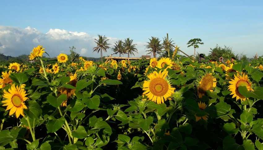 Kebun Bunga Matahari Samas
