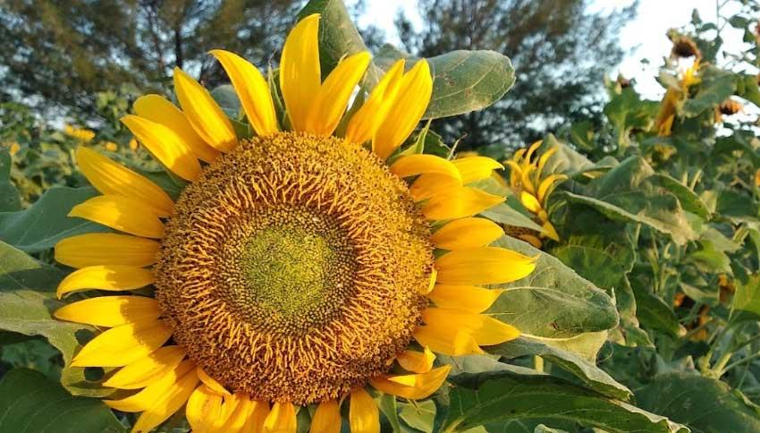 Ladang Bunga Matahari Bantul